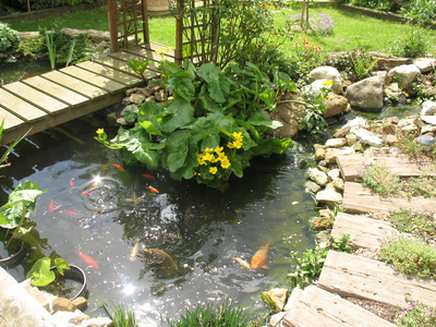 Garden fish a guide to pond fish and how to care for them for Garden ponds uk