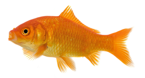 goldfish. goldfish. wallpaper Goldfish